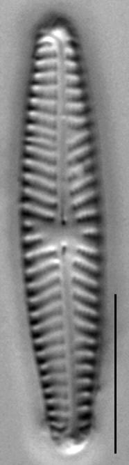 Navicula Selbigiana 453301 O