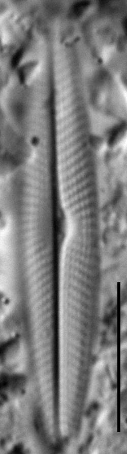 Navicula symmetrica LM6