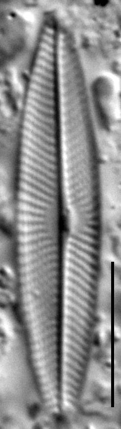 Navicula symmetrica LM4