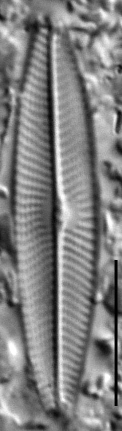 Navicula symmetrica LM9