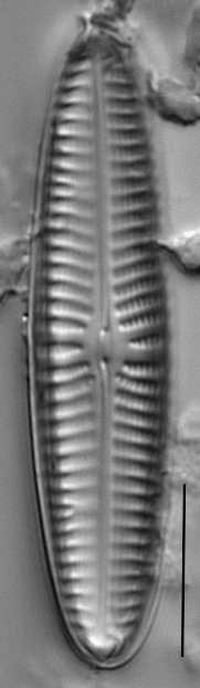 Navicula perotii LM5
