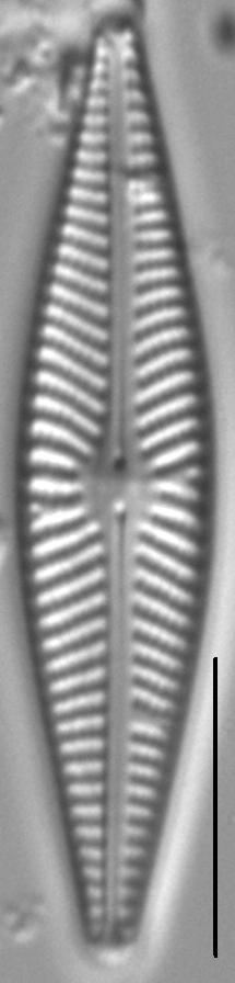 Navicula supleeorum LM7