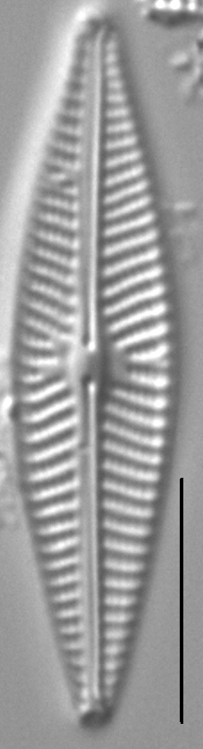 Navicula supleeorum LM5