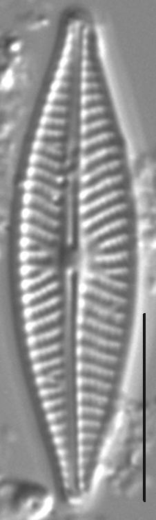 Navicula supleeorum LM4