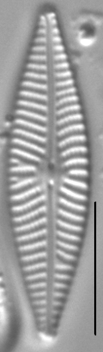 Navicula supleeorum LM3