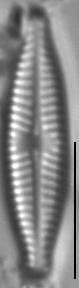 Navicula trilatera LM6