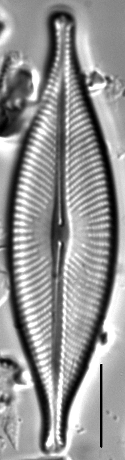 Navicula whitefishensis LM3