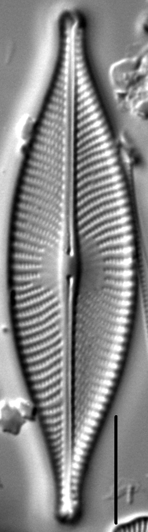 Navicula whitefishensis LM2