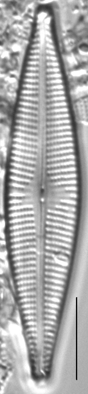 Navicula cryptocephaloides LM7