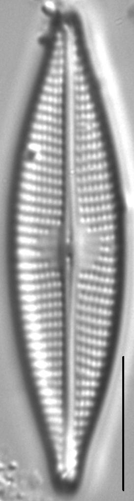 Navicula cryptocephaloides LM4