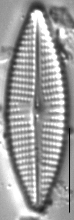 Navicula cryptocephaloides LM1
