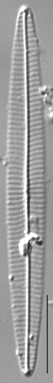 Navicula duerrenbergiana LM4