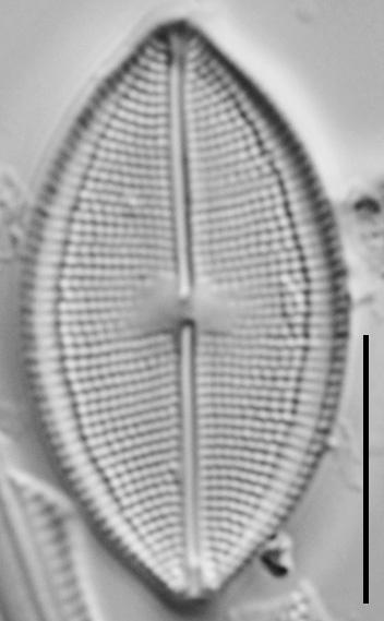 Neidium densestriatum LM2