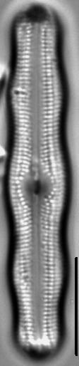 Neidiopsis levanderi LM2