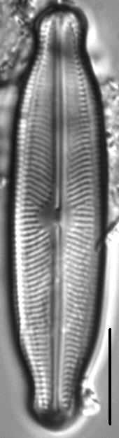 Neidiopsis wulffii LM5