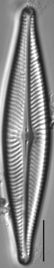 Navicula flatheadensis LM5