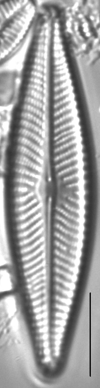 Navicula flatheadensis LM1