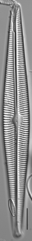 Navicula galloae LM1