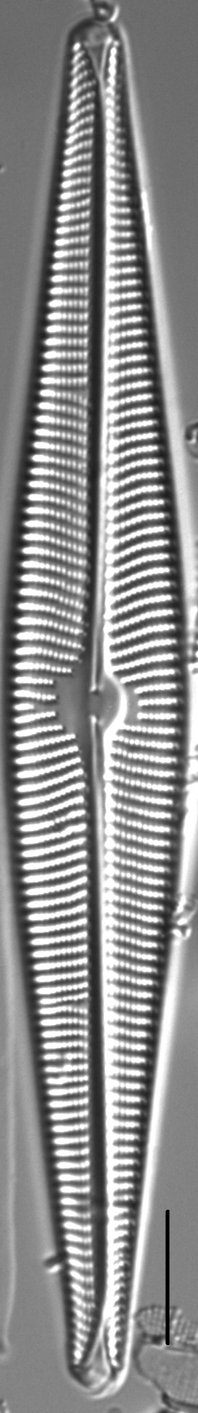Navicula galloae LM2