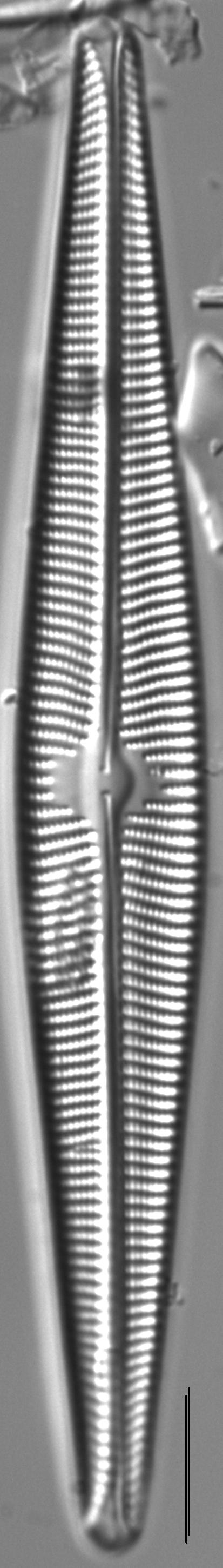 Navicula galloae LM3