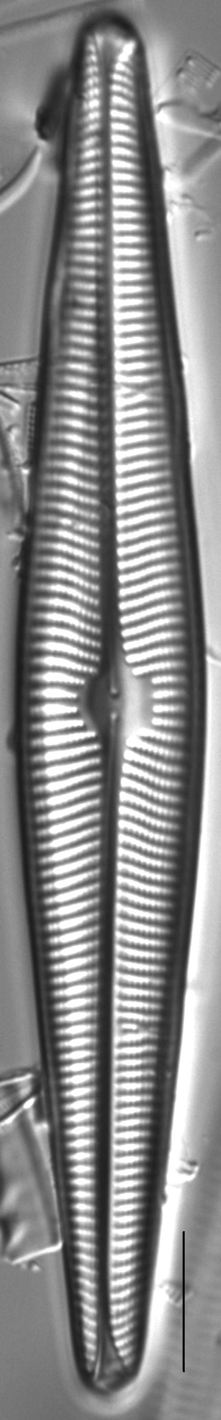 Navicula galloae LM4