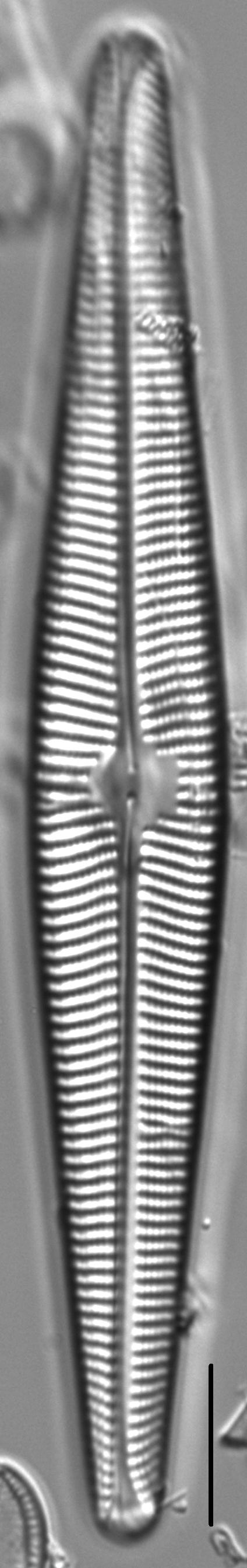 Navicula galloae LM6
