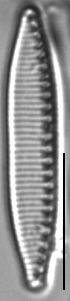 Nitzschia alpina LM7