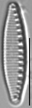 Nitzschia alpina LM3