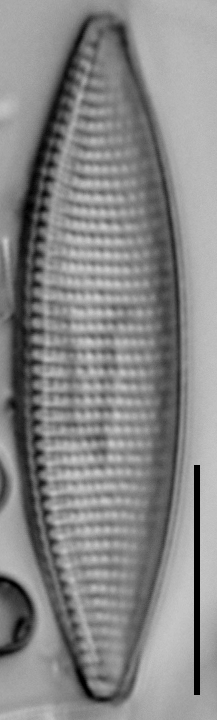 Nitzschia angustata LM11