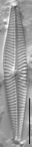Navicula notha LM1