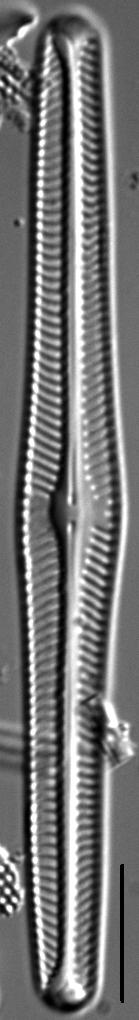 Navicula piercei LM6