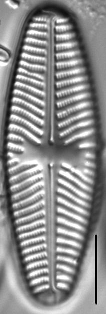 Navicula reinhardtii LM4