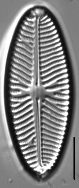 Navicula reinhardtii LM3
