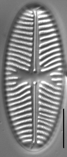 Navicula reinhardtii LM1