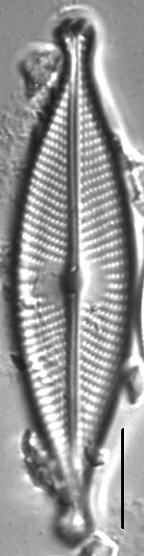 Navicula rhynchotella LM1