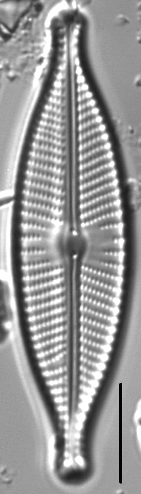 Navicula rhynchotella LM6