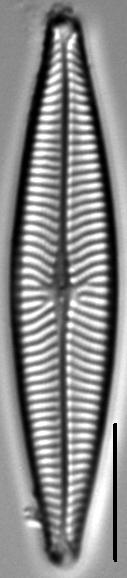 Navicula schweigeri LM3