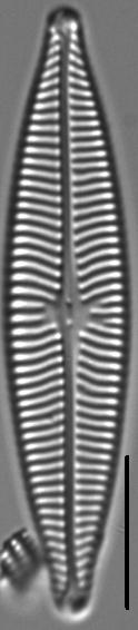 Navicula schweigeri LM2