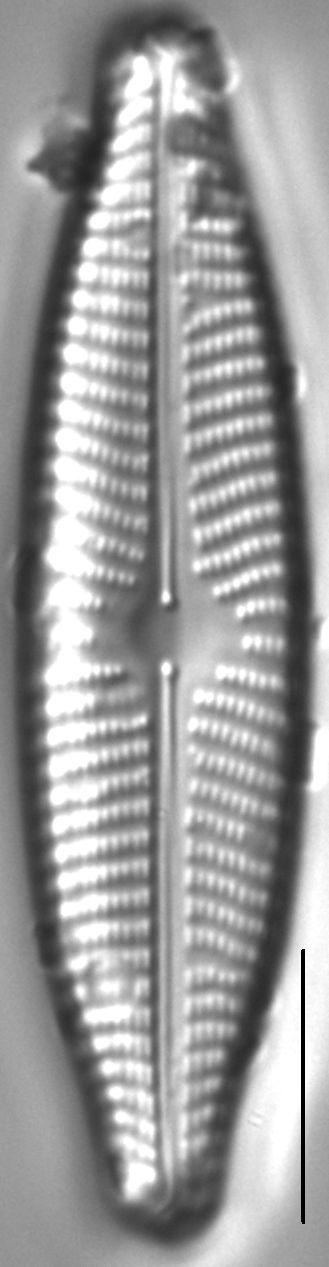 Navicula slesvicensis LM3