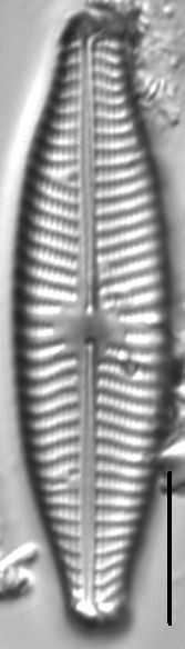 Navicula slesvicensis LM2