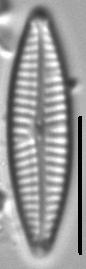 Navicula staffordiae LM1