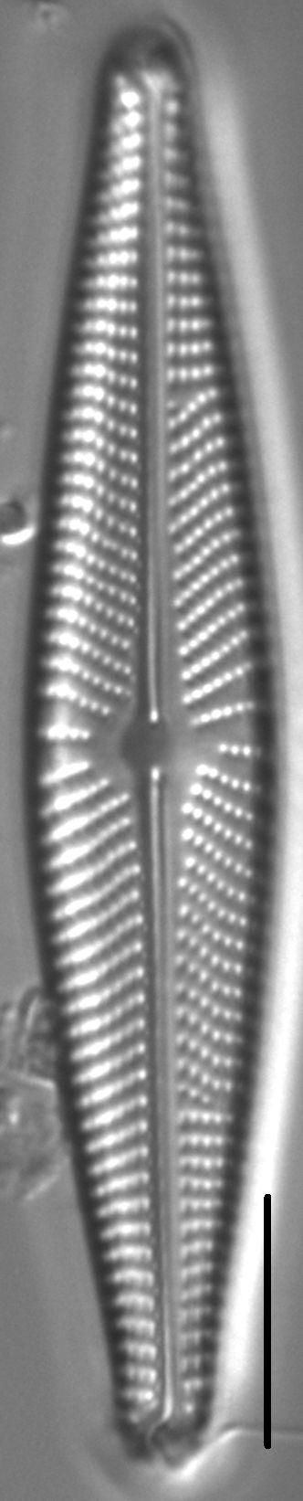 Navicula streckerae LM7