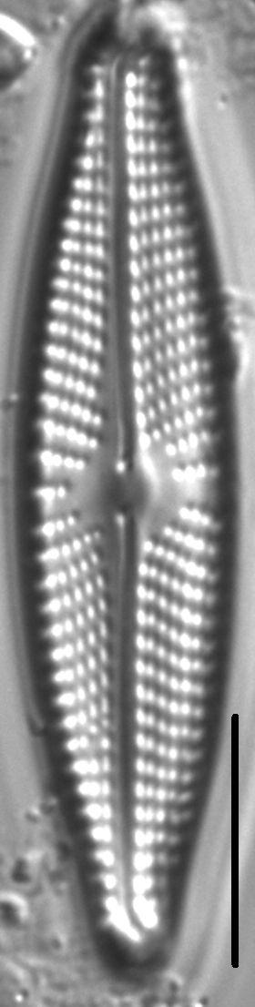 Navicula streckerae LM4