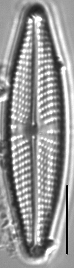 Navicula streckerae LM3