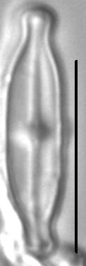 Nupela tenuicephala LM3