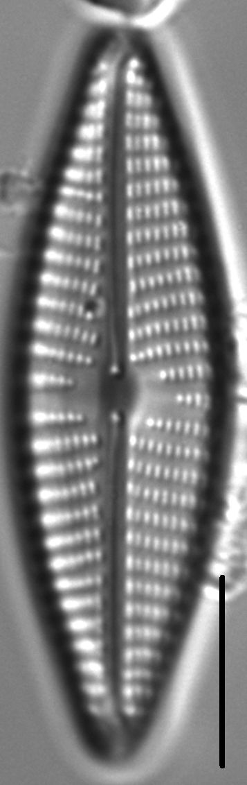 Navicula vaneei LM1