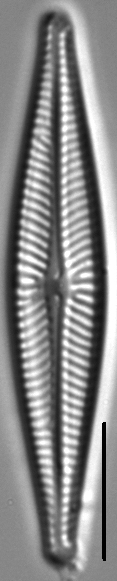 Navicula wildii LM4