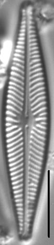 Navicula wildii LM1