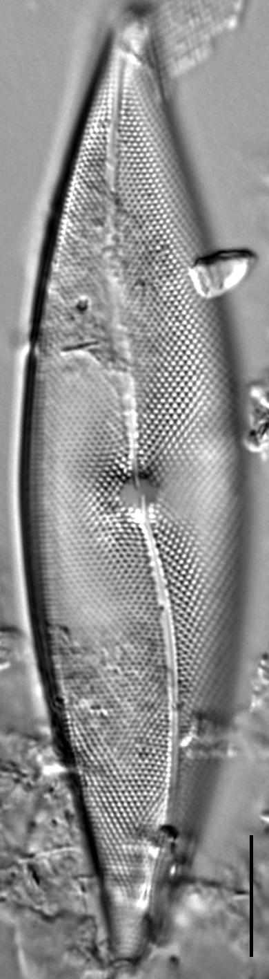 Pleurosigma inflatum LM1