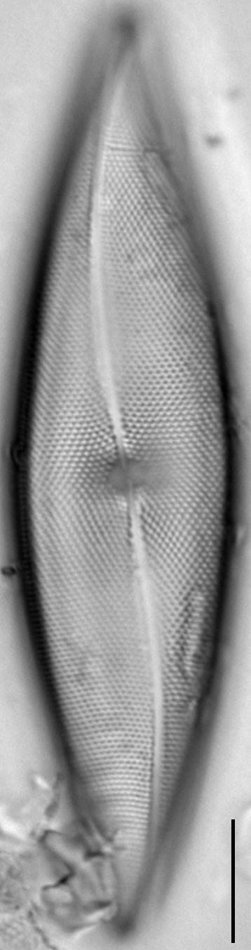 Pleurosigma inflatum LM3